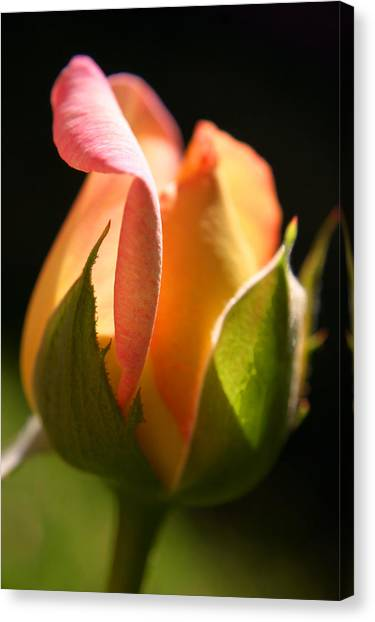 Rosebud Canvas Print by PIXELS  XPOSED Ralph A Ledergerber Photography