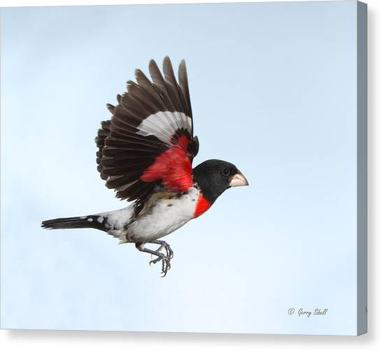 Rosie The Grosbeak Canvas Print
