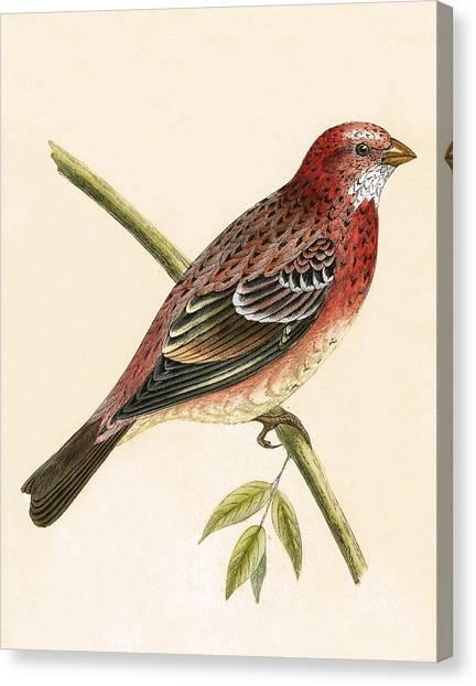 Finches Canvas Print - Rosy Bullfinch by English School