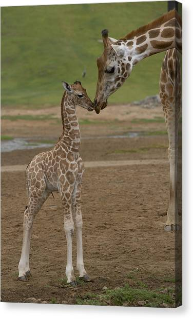 Canvas Print featuring the photograph Rothschild Giraffe Giraffa by San Diego Zoo