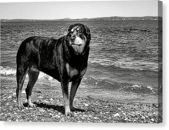 Rottweilers Canvas Print - Rottweiler At The Shore by Olivier Le Queinec