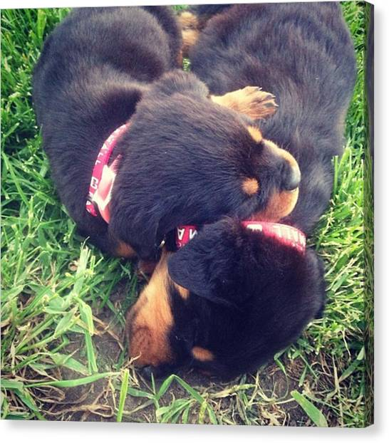 Rottweilers Canvas Print - Rottweiler Puppies 8 Weeks by Angela Ahrens