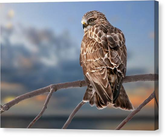 Rough Legged Hawk Canvas Print