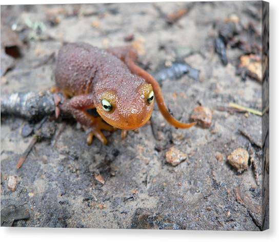 Salamanders Canvas Print - Rough-skinned Newt by Super Lovely