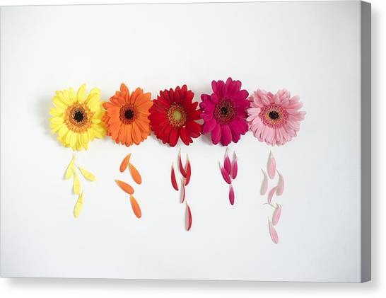 Row Of Gerbera Daisies On White Background Canvas Print