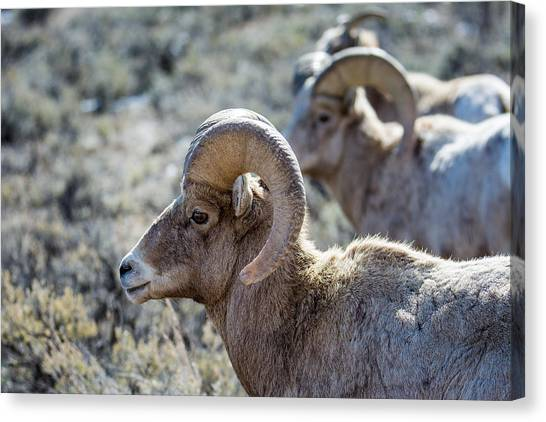 Row Of Sheep Canvas Print