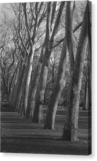 Row Trees Canvas Print