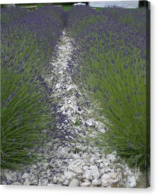 Rows Of Lavender Canvas Print by Robert Torkomian