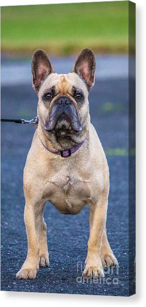 French Bull Dogs Canvas Print - Roxy Dog Stance by Carl Therriault