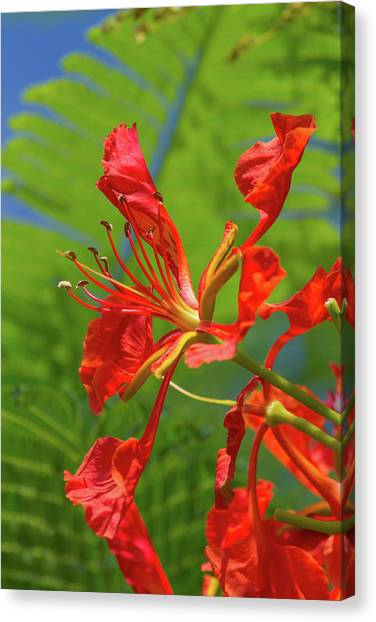 Royal Poinciana Flower Canvas Print