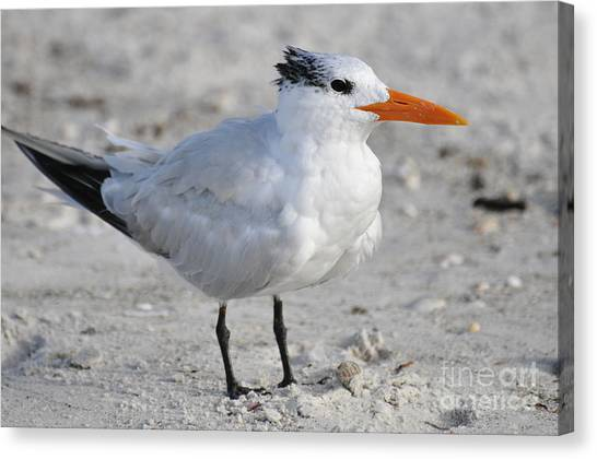 Royal Tern  Canvas Print by Rose  Hill