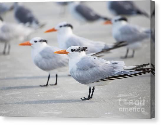 Linda King Canvas Print - Royal Terns 7056 by Linda King