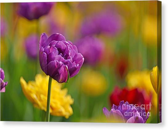 Royal Tulips Canvas Print