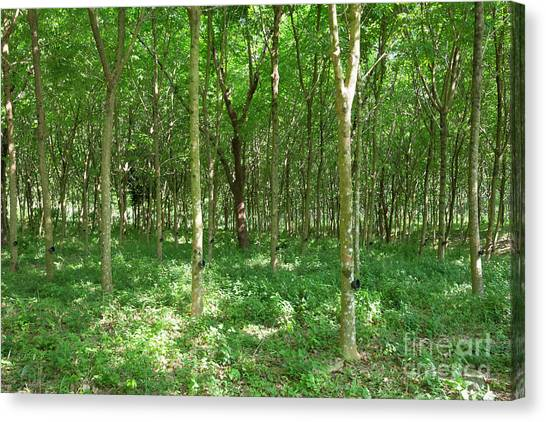 Rubber Tree Plantation, Ko Phayam, Ranong, Thailand Canvas Print by Roberto Morgenthaler