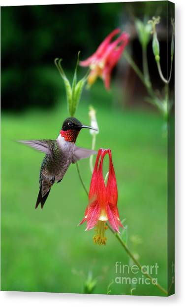 Ruby-throated Hummingbird  Looking For Food Canvas Print