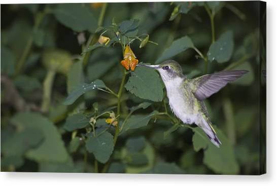 Rubythroated Hummingbird And Jewel Weed Canvas Print