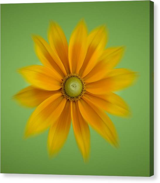 Rudbeckia Blossom Irish Eyes - Square Canvas Print