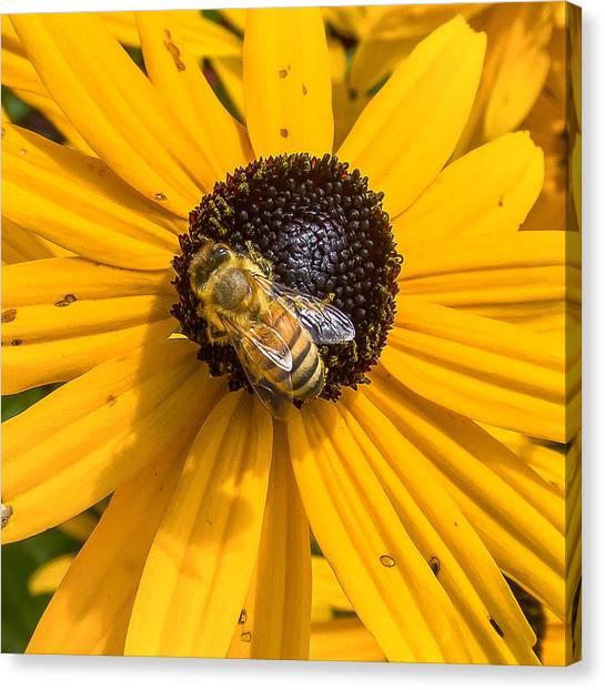 Rudbeckia With Bee Canvas Print
