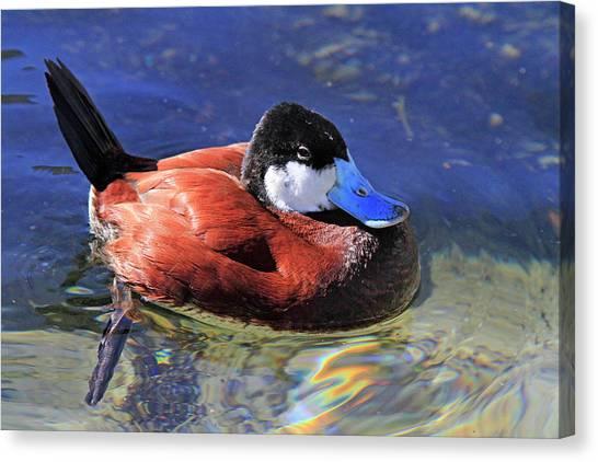 Ruddy Duck 2 Canvas Print