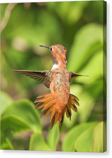 Rufous Display Canvas Print by Loree Johnson