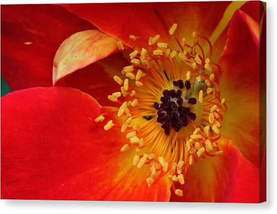 Canvas Print - Rugosa Rose Secrets by Russell Wilson
