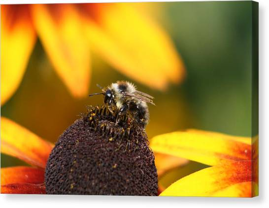 Rumble Bee Canvas Print
