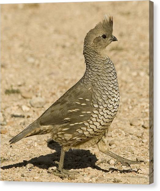 Running Quail Canvas Print by Clyde Replogle