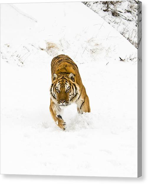 Running Tiger Canvas Print