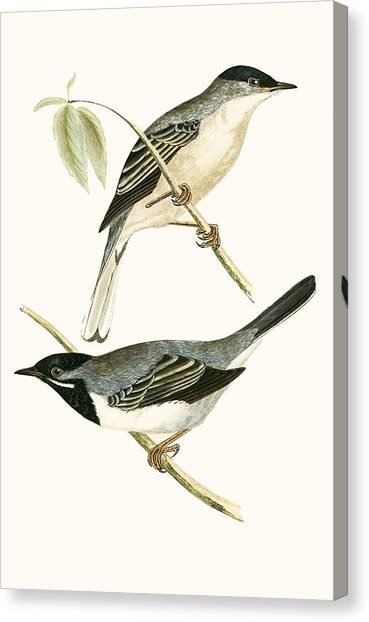 Warblers Canvas Print - Ruppell's Warbler by English School