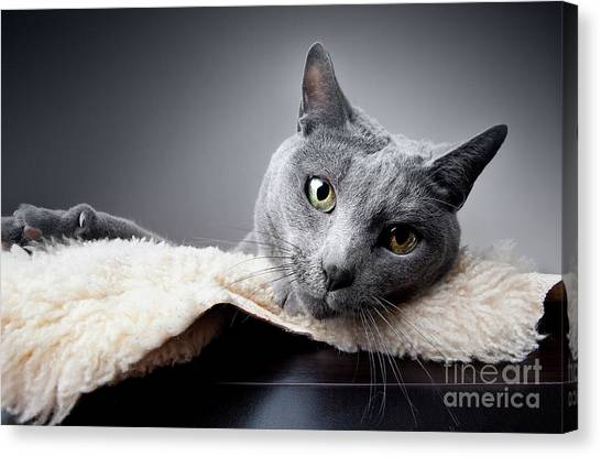 Russian Blue Canvas Print - Russian Blue Cat by Nailia Schwarz