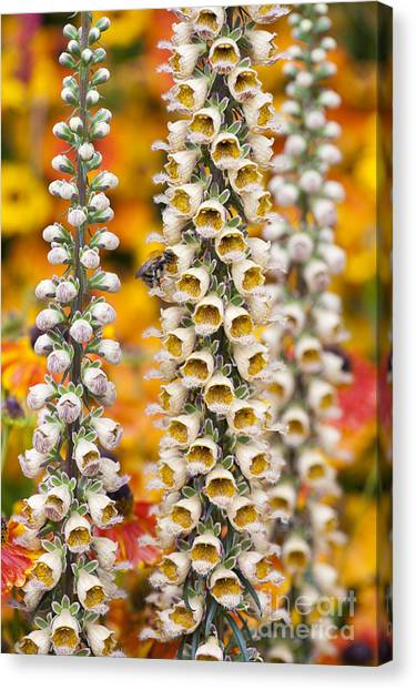 Pollinator Canvas Print - Rusty Foxgloves by Tim Gainey