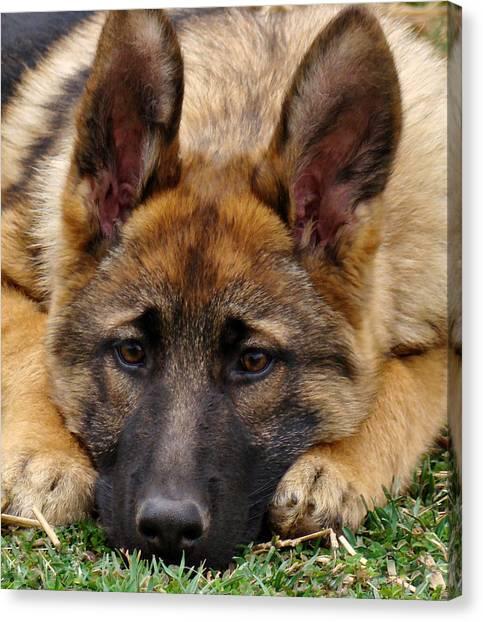 Sable German Shepherd Puppy Canvas Print