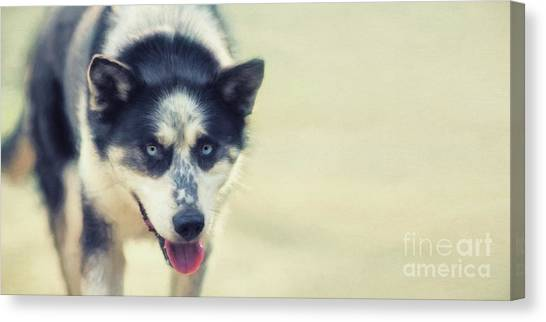 Huskies Canvas Print - Sabu by Priska Wettstein