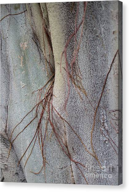 Sacred Bodhi Tree Detail With Red Creeper Vines Canvas Print