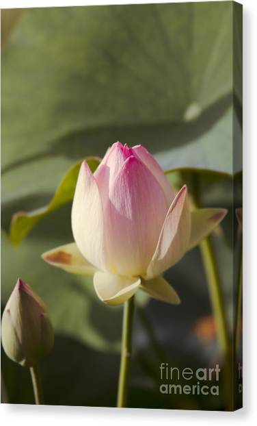 Egyptian Maus Canvas Print - Sacred Lotus - Nelumbo by Sharon Mau