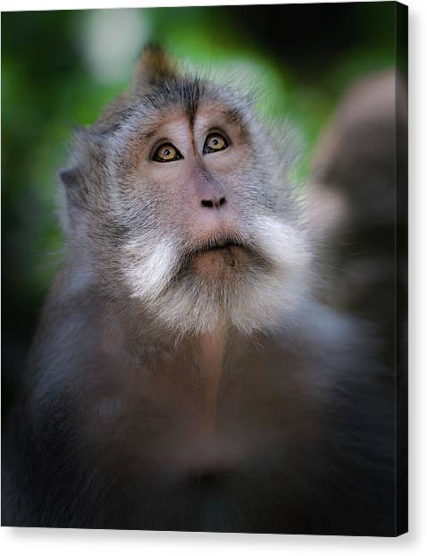 Monkeys Canvas Print - Sacred Monkey Forest Sanctuary by Larry Marshall