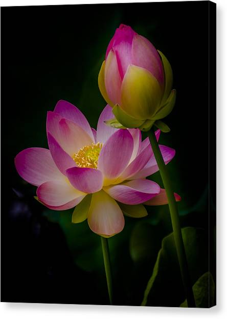 Sacred Water Lily 4 Canvas Print