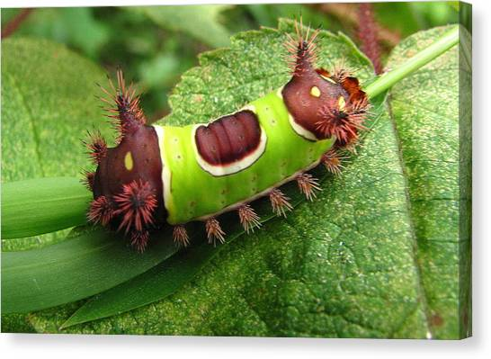 Saddleback Caterpillar Canvas Print