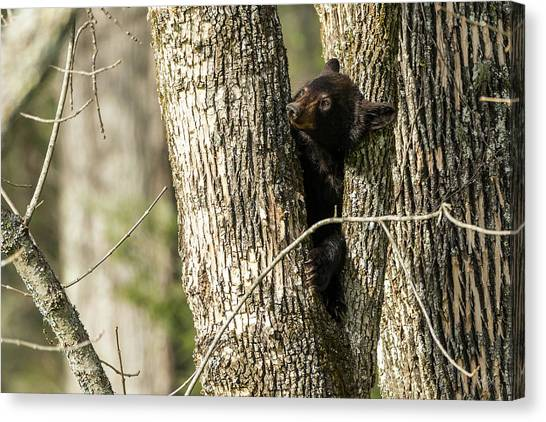 Black Bears Canvas Print - Safe From Harm by Everet Regal