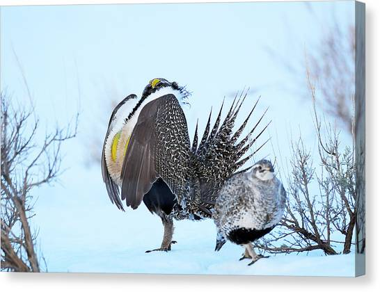 Sage Grouse Canvas Print by Dennis Hammer