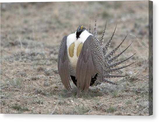 Sage Grouse Canvas Print