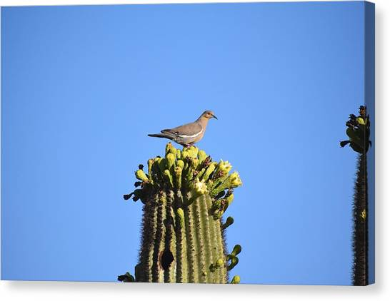 Saguaro Dove 1 Canvas Print