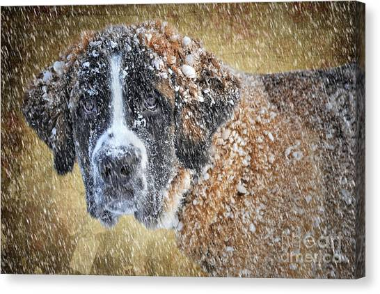 Saints Canvas Print - Saint Bernard by Smart Aviation