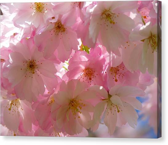 Sakura - Japanese Cherry Blossom Canvas Print