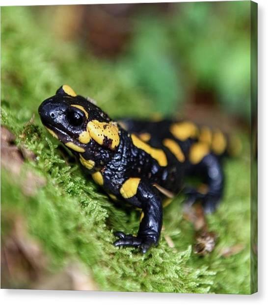 Salamanders Canvas Print - #salamander #wildlife #forrest #wild by Fink Andreas