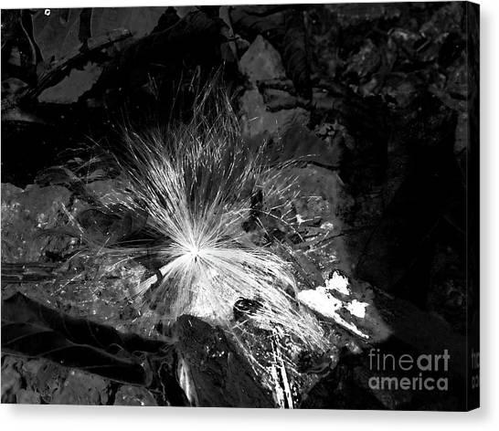 Salix Seed Canvas Print
