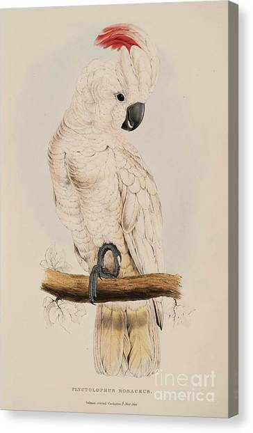 Cockatoos Canvas Print - Salmon Crested Cockatoo by Pg Reproductions