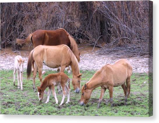 Salt River Wild Horses In Winter Canvas Print