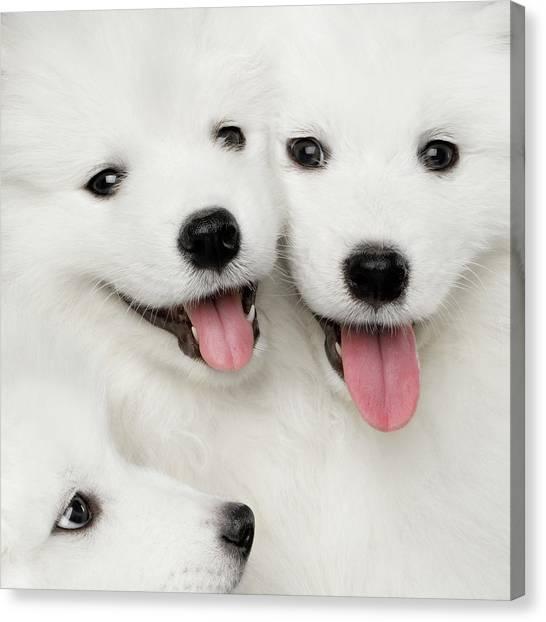 Samoyed Puppies Canvas Print