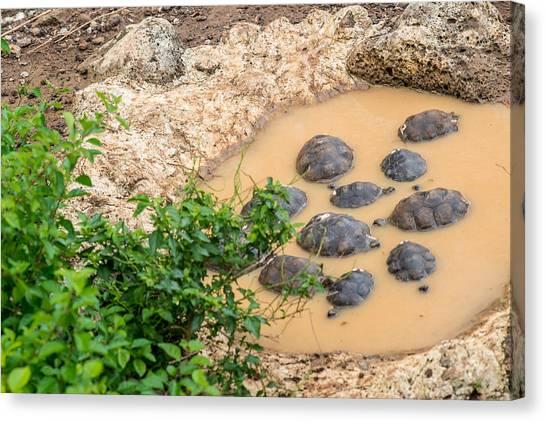 San Cristobal 2-year Old Tortoises Canvas Print by Harry Strharsky